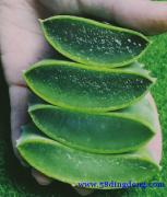 美容院原料芦荟叶片