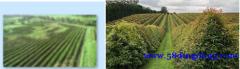 贝安爵BIOANGEL天然有机茶,引领健康茶饮新趋势